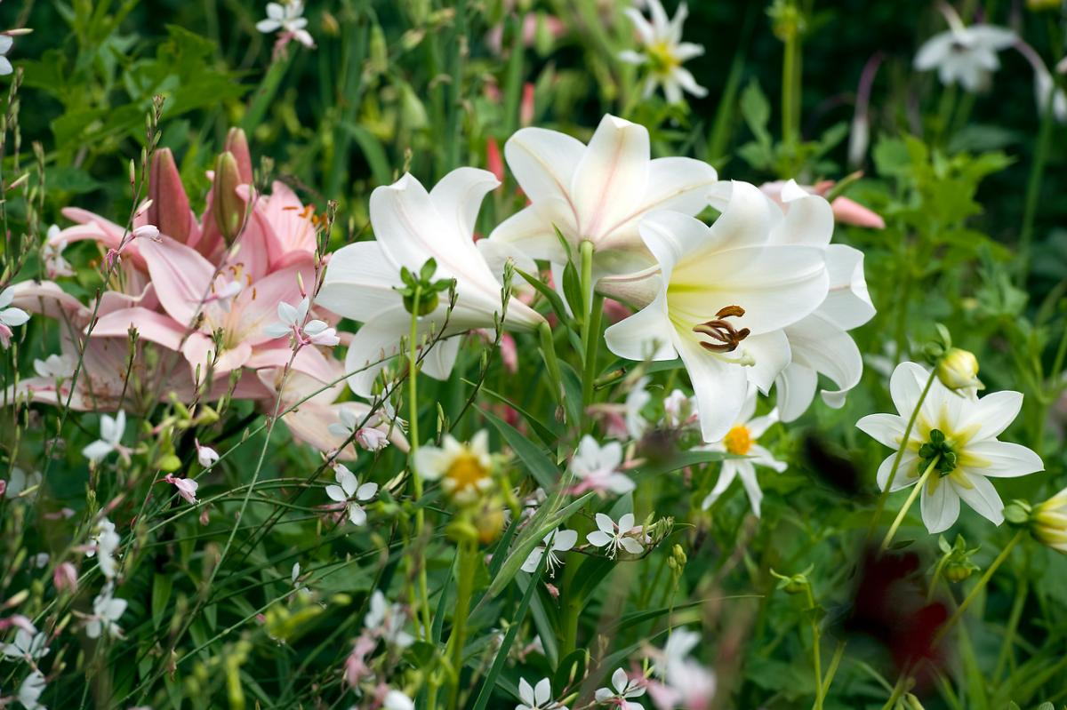 The Lily Introducing The Summer Bulb Of The Year Garden Media